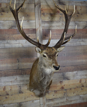 Genuine Deer Taxidermy Mount - Mounted Red Stag - Rustic Deco Incorporated