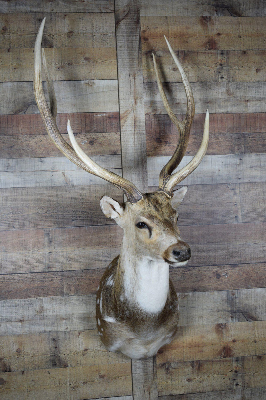 Genuine Mounted Axis Deer - Western - Lodge - Cabin - Rustic Deco Incorporated
