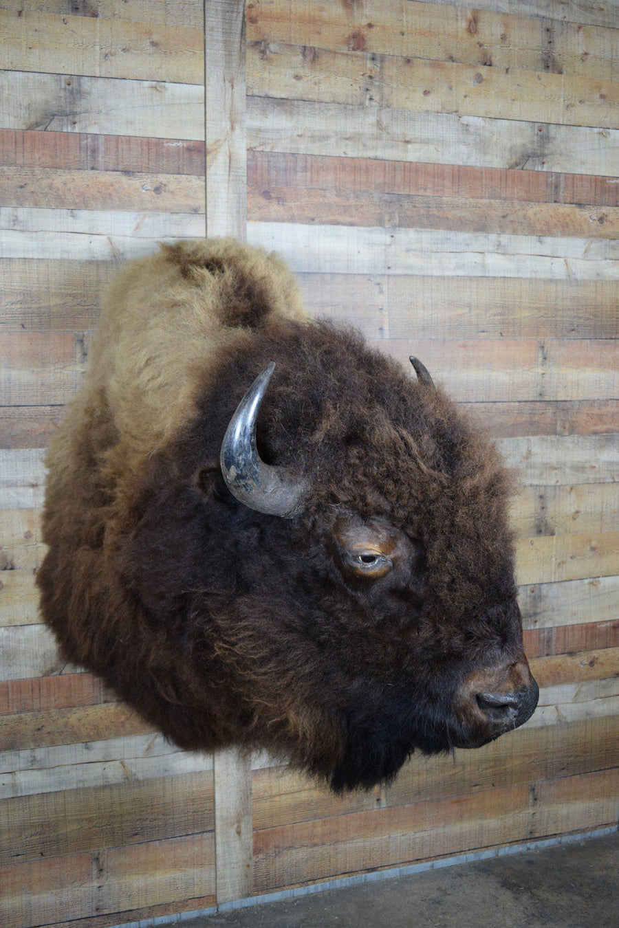 Genuine Mounted Buffalo - Western - Lodge - Cabin - Rustic Deco Incorporated