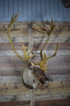 Genuine Mounted Deer - Caribou - Western - Lodge - Cabin-Rustic Deco Incorporated