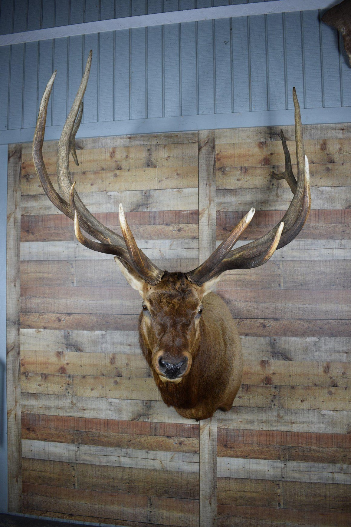 Genuine Mounted Deer - Elk - Western - Lodge - Cabin-Rustic Deco Incorporated