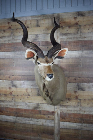 Genuine Mounted Deer - Kudu - Western - Lodge - Cabin - Rustic Deco Incorporated