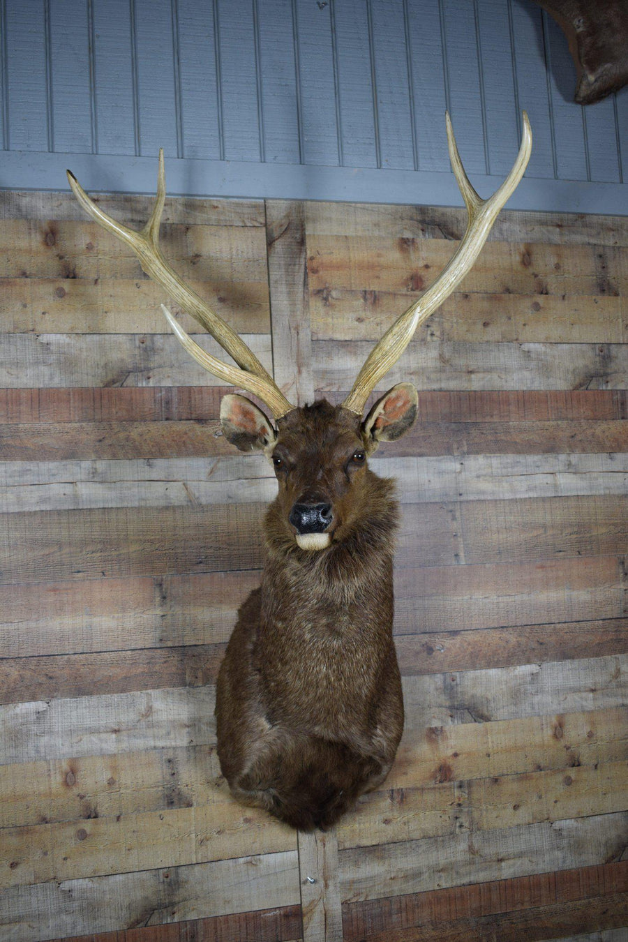 Genuine Mounted Deer - Sambar - Western - Lodge - Cabin-Rustic Deco Incorporated