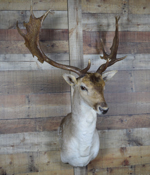 Genuine Mounted Deer - Taxidermy - Fallow Deer - Western - Lodge - Cabin - Rustic Deco Incorporated