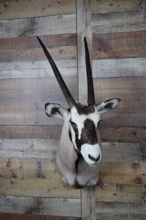 Genuine Mounted Gemsbok Deer - Western - Lodge - Cabin-Rustic Deco Incorporated