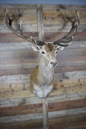 Genuine Mounted Red Deer - Western - Lodge - Cabin - Rustic Deco Incorporated