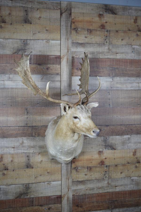 Mounted White Fallow Deer - Western - Lodge - Cabin Animal Mount BS Trading
