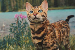 Land of Meow - Bengal Cat 2