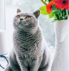 Land of Meow - British Shorthair