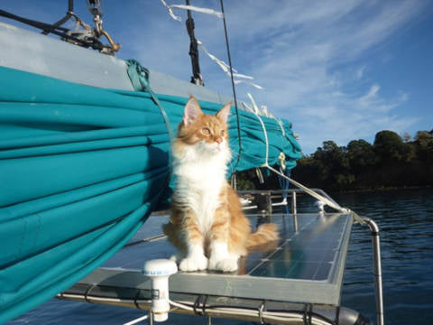 Land of Meow - Maine Coon