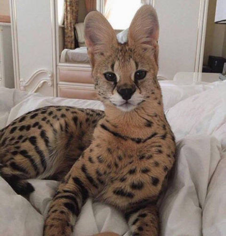 Land of Meow - Savannah cat