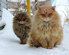 Land of Meow - Siberian Forest Cats
