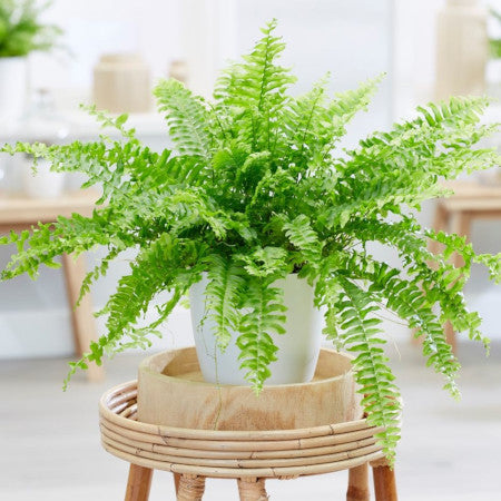 Land of Meow Boston Fern