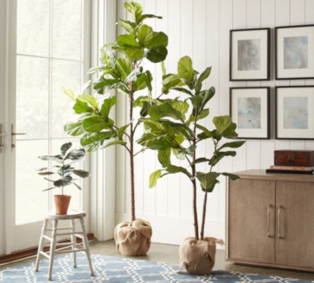 Land of Meow Fiddle Leaf