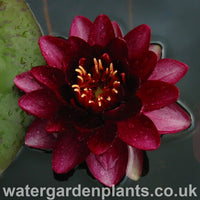 Waterlily Nymphaea 'Almost Black'