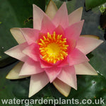 Waterlily Nymphaea 'Amabalis'