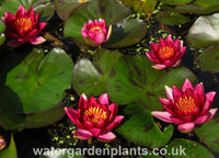 Waterlily Nymphaea 'Andreana'