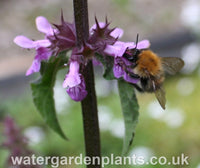 Stachys palustris - Marsh Woundwort with bumblebee