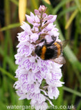 Dactylorhiza_fuchsii_Marsh_Orchid_or_Common_Spotted_Orchid_With_Bumblebee