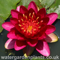 Waterlily Nymphaea 'Burgundy Princess'