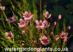 Butomus_umbellatus_Flowering_Rush_Rosenrot_Rose_Red_Form
