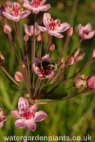 Butomus_umbellatus_Flowering_Rush_Rosenrot_Rose_Red_Form_With_Bumblebee