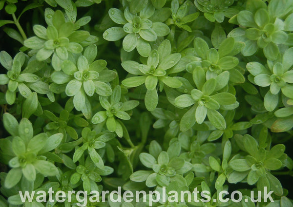 Callitriche_stagnalis_Common_Water_Starwort