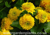 Caltha_palustris_Flore_Pleno_double_marsh_marigold