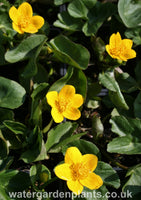 Caltha_palustris_native_marsh_marigold