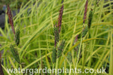 Carex_elata_Aurea_Bowles_Golden_Sedge