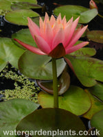 Waterlily Nymphaea 'Colorado'