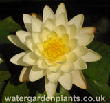 Waterlily Nymphaea 'Denver'