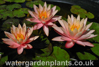 Nymphaea 'Georgia Peach'