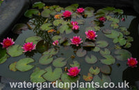 Nymphaea 'Gloriosa' - Waterlily, in pond