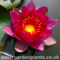 Nymphaea 'Gloriosa' - Waterlily