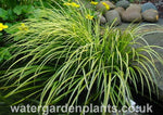 Acorus gramineus 'Ogon' Golden Japanese Rush