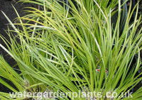 Acorus gramineus 'Ogon' Golden Japanese Rush 2