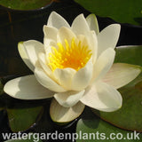 Waterlily Nymphaea 'Hermine'