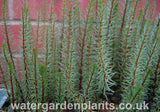Hippuris_vulgaris_Cat's Tail or Marestail