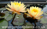 Waterlily Nymphaea 'Inner Light'