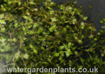 Lemna_trisulca_Ivy-Leaved_Duckweed