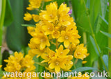 Lysimachia_vulgaris_Yellow_Loosestrife