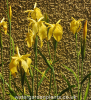 Iris_fulva_Marvell_Gold