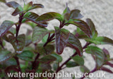 Mentha_aquatica_Water_Mint