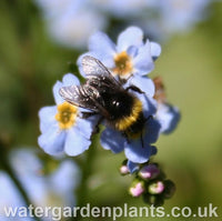 Myosotis scorpioides 'Mermaid' Water Forget-Me-Not with Bumblebee