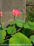 Nelumbo 'Mrs Perry D Slocum' Lotus