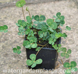 Marsilea_mutica_Floating_Four_Leaf_Clover