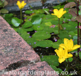 Nymphoides peltata (Villarsia nymphoides) - Fringed Waterlily, Floating Heart