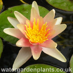 Waterlily Nymphaea 'Paul Hariot'