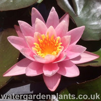 Waterlily Nymphaea 'Pink Sensation'